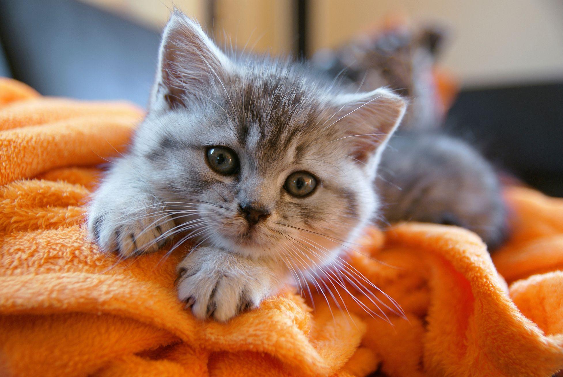 Perská kočka činčila je jednou z prvních záměrně vyšlechtěných variet kočky perské.