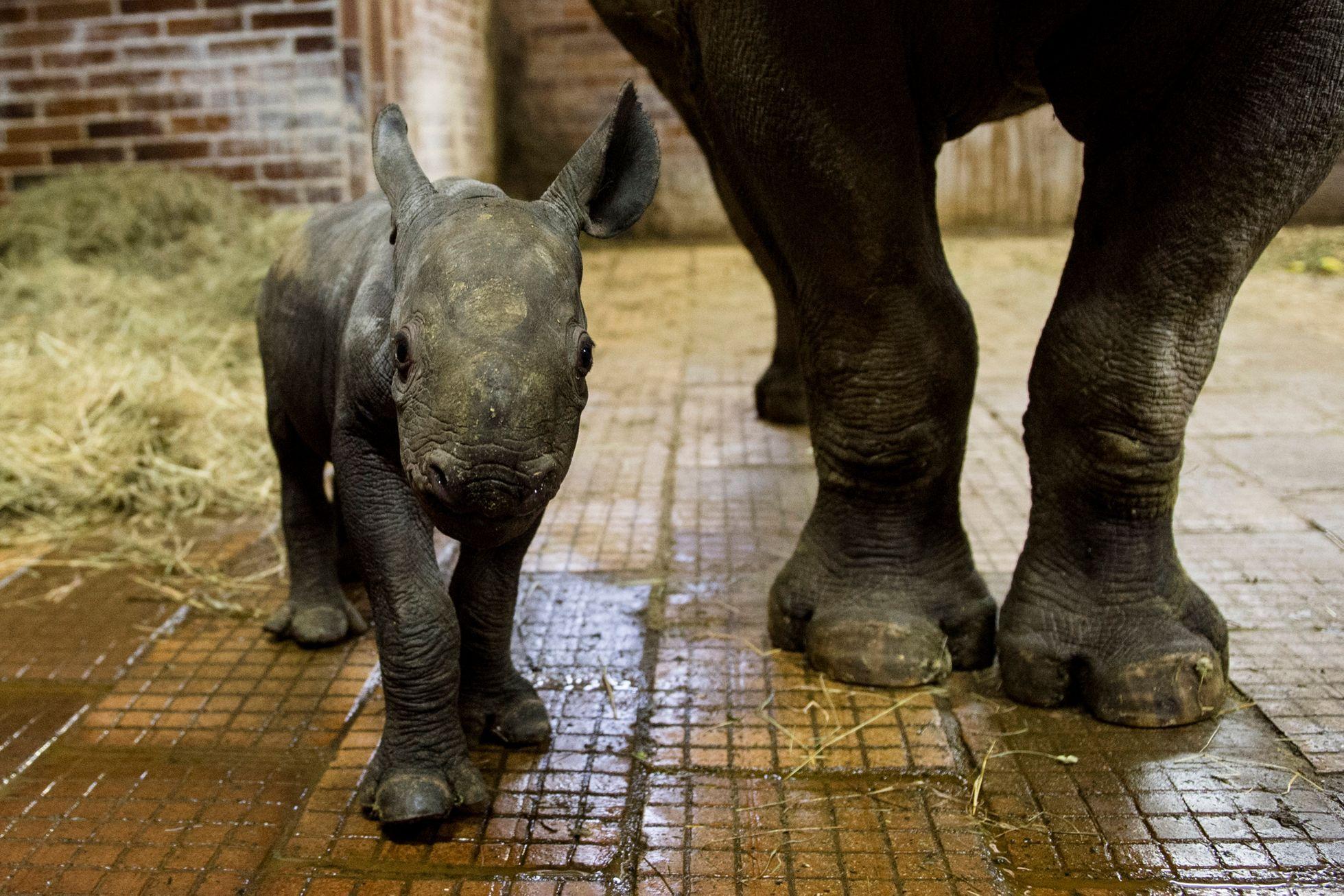 338b87f74c70 Zoo ve Dvoře Králové ukázala malou samičku vzácného nosorožce dvourohého -  Aktuálně.cz