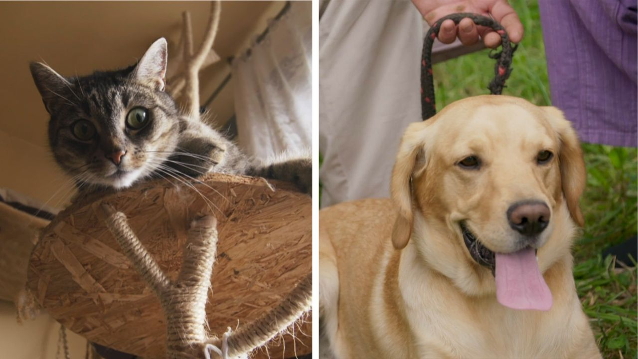 Hermínka je krásná želvovinová kočička.