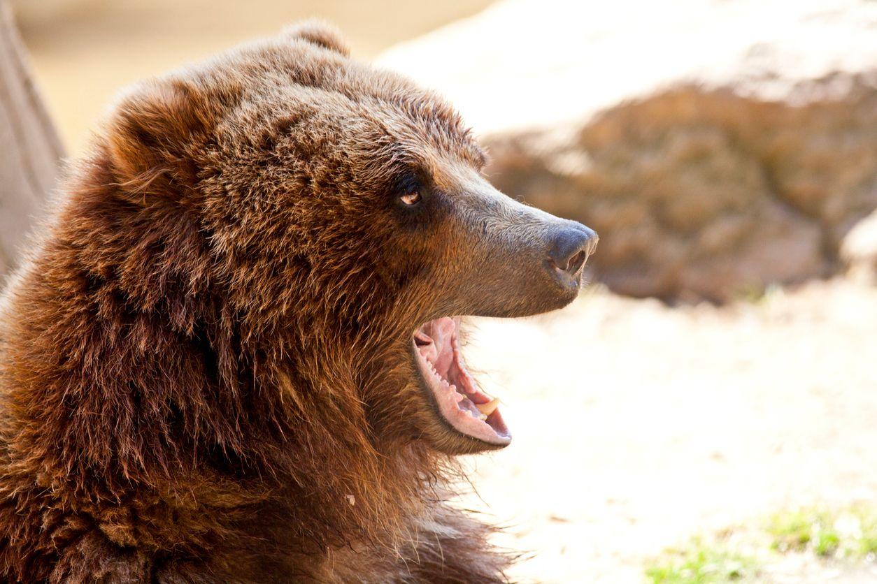 9f1c1f5d573 Medvěd na Valašsku  Je to puberťák