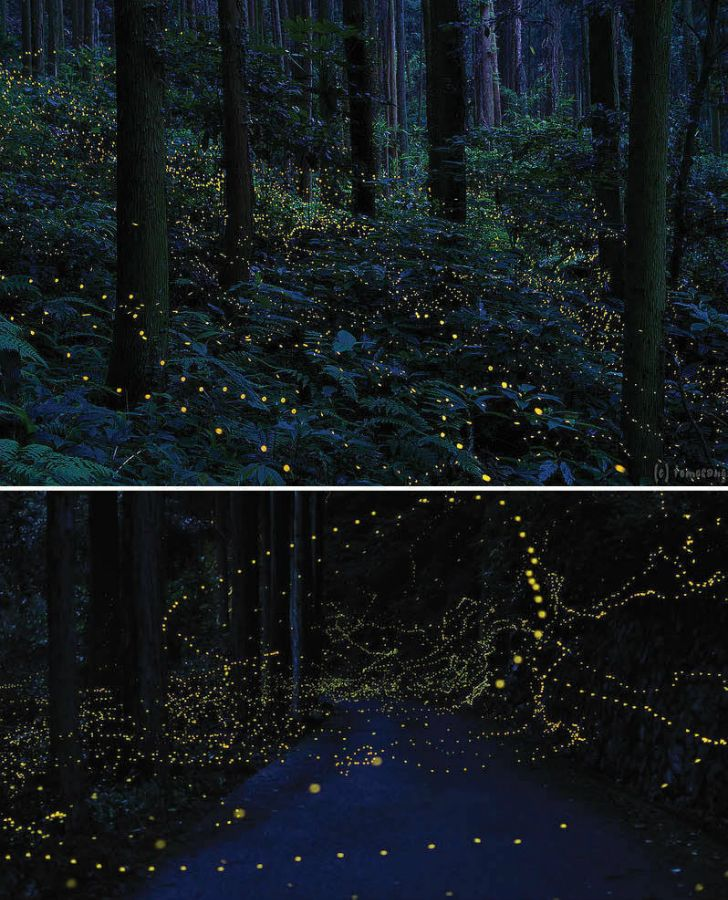 Firefly Forest in Chugoku Region, Japan