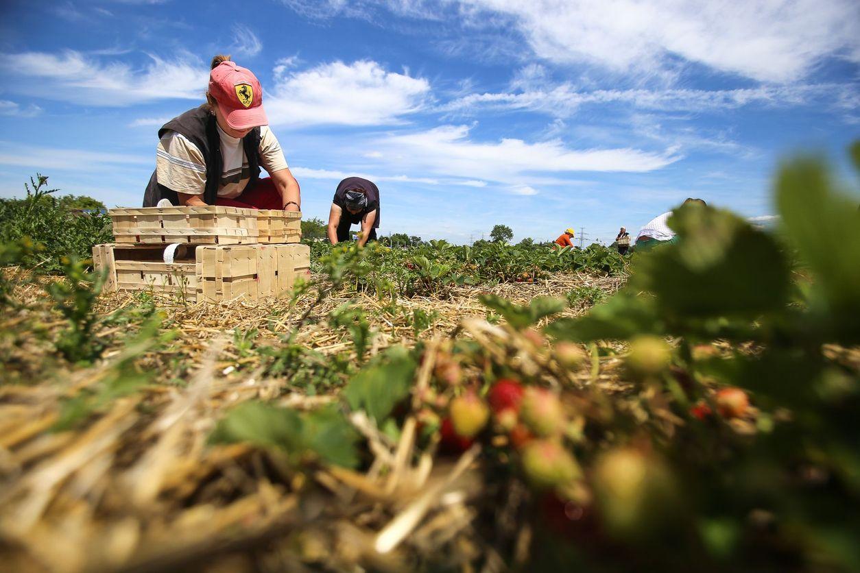 Výsledek obrázku pro kunratice jahody