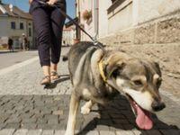 Pes ovládal své pány. Zvířecí psycholog prozradil Desenského fintu s vodítkem
