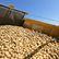 První rané brambory míří do obchodů. Základ české kuchyně skladuje řada lidí špatně