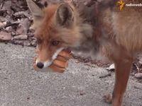 Liška z Černobylu hitem internetu. Sama si udělala svačinu