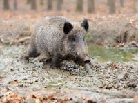 Nedisciplinovaných myslivců je hodně, jsou nebezpečnější než prasata s morem, říká Řehák