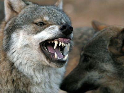 Farmář: Lidi mají strach, vlci se blíží k obydlím, je pro ně snazší zakousnout tele než honit srnky