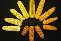 Czechs welcome new GM crop: corn GA 21 test afoot