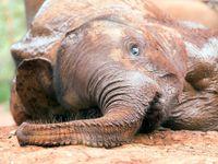 Svět oplakává Cecila. Pytláci zatím zmasakrovali pět slonů