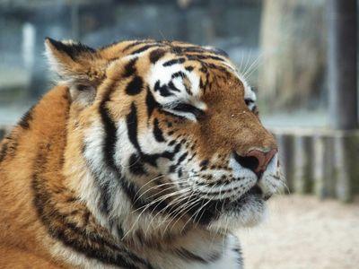 Ze zooparku na Královéhradecku utekli dva tygři a lev. Veterináři šelmy uspali
