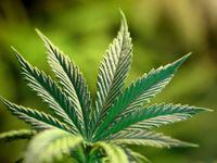 Policie straší: Marihuana je silná jak pervitin. Nesmysl