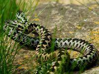 Němce uštkla zmije do jazyka, v opilosti si ji spletl s červem