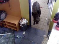 Postřelený divočák proběhl oknem do školy. Skříňky i zdi zamazal krví, dorazil ho myslivec