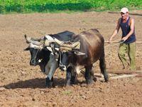 Komunistická Kuba nemá dost paliva. Zemědělci musí zapřáhnout voly