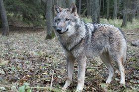 309a1da0b13 Vlčí hlídky vystopovaly v Beskydech 15 rysů a tři vlky