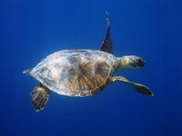 """""""Snězte vetřelce."""" Japonská vláda vyhlásila válku přemnoženým želvám a rakům"""