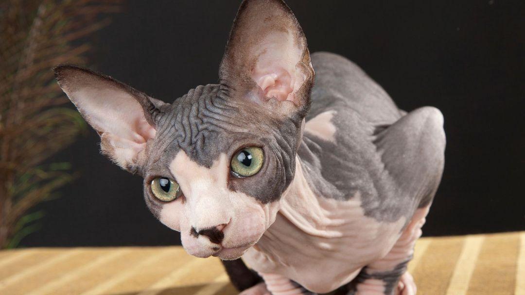 krásná holá kočička