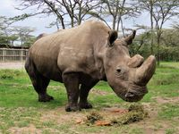 Uhynul Súdán. Poslední samec nosorožce severního bílého musel být utracen