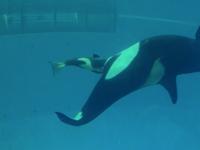 V mořském parku v texaském San Antoniu natočili poslední porod kosatky
