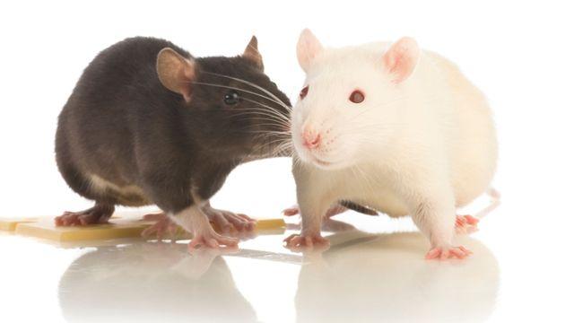 černý a bílý potkan | WiseCon - RodentCTRL