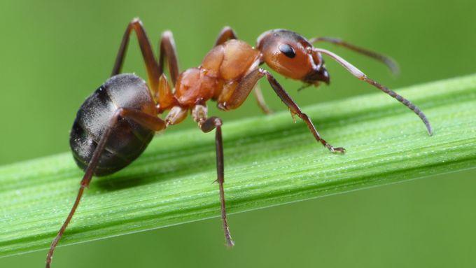 Mravenců je teď víc, ale přemnožení nejsou, říká odborník - Aktuálně.cz