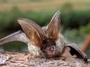 160 netopýrů v brněnském bytě. Skrývali se pod kobercem i prostěradlem