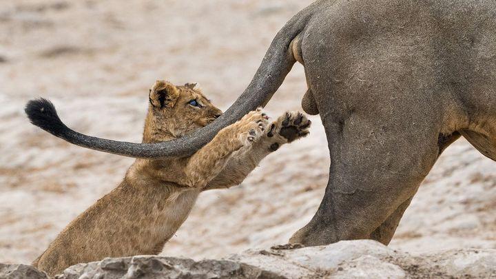Nejvtipnější fotky zvířat 2019: až příliš hravé lvíče, zasněná veverka, tančící svišť