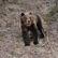 Ochránci přírody chtějí odchytit medvěda v Beskydech, budou poté sledovat jeho pohyb