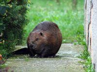 Na Rokycansku odchytili bobra. Podhrabal se na zahradu rodinného domu a děsil lidi