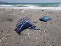 """Španělské pláže zaplavily desítky žahavých """"medúz"""". Některá místa museli uzavřít"""