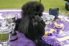 Siba,  Westminster Kennel Club Dog Show 2020
