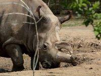 V dvorské zoo uhynul vzácný nosorožec, žijí už jen čtyři