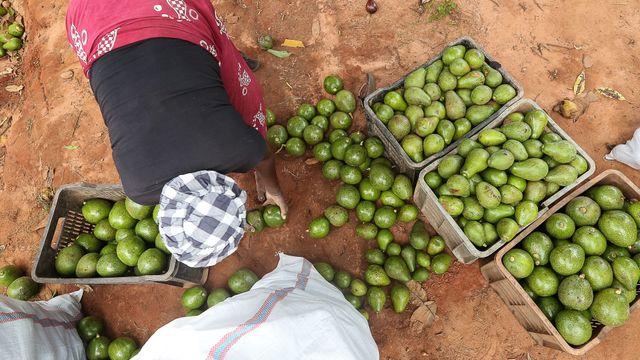 Avokáda v angolské vesnici Kasuanga.