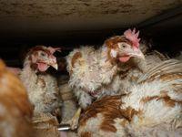Slepice v klecích míň hynou, mrtvé kusy tam mohli dát aktivisté, klecová vejce kupuji, říká Dlouhá