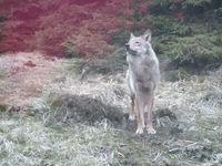 Vlci se vrátili do Krušných hor. Šelma na unikátním videu ukázkově pózuje a větří na kameni