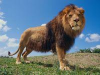 Slavného afrického lva Cecila zabil zubař z Minnesoty