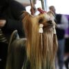 Fototogalerie / Westminster Kennel Club Dog Show / Reuters