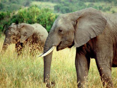 Sloní DNA pomáhá chytat pytláky. Vynálezce metody tak už dopadl tři velké gangy