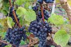 Czech vintners win medals in Canada