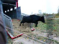 Obrazem: Zpětně vyšlechtění pratuři se nově pasou v Milovicích. Doplnili zde žijící divoké koně