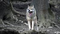 Odborníci nastraží odchytovou klec  Vlkům se na východě Čech začíná dařit.  Usídlili se i ve Vraních horách 9269189e18