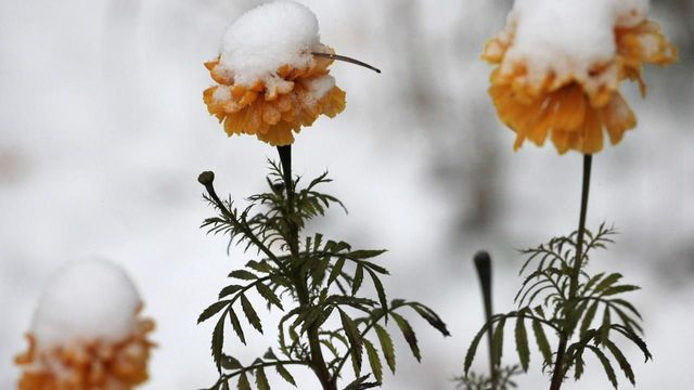 Flowers covered by first snow are seen outside Russia's Siberian city of Krasnoyarsk October 11, 2012.REUTERS/Ilya Naymushin (RUSSIA - Tags: ENVIRONMENT) Published: Říj. 11, 2012, 3:08 odp.