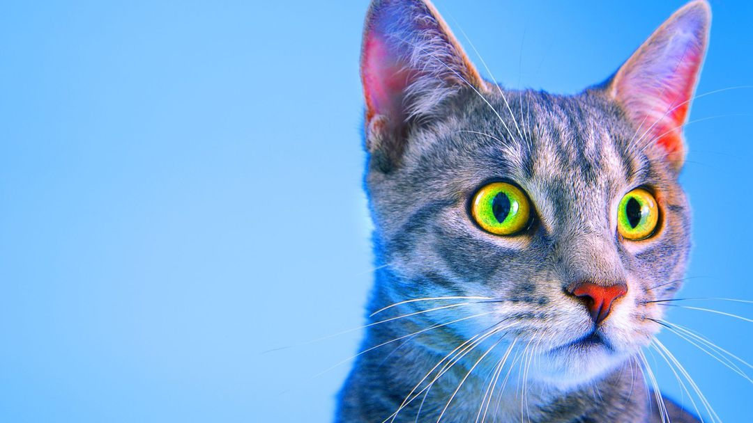 velké kořist kočička video