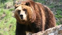 ... Medvěd na Vsetínsku usmrtil další čtyři ovce. Odborníci nastraží  odchytovou klec 6cf3f23b3b