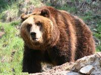 Medvěd na Vsetínsku usmrtil další čtyři ovce. Odborníci nastraží odchytovou klec