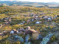 Do stáda divokých sobů v Norsku uhodil blesk. Zemřelo přes 300 zvířat