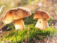 Houbařský kvíz: Poznáte jedlé houby od jedovatých? Vyzkoušejte se, než vyrazíte do lesa