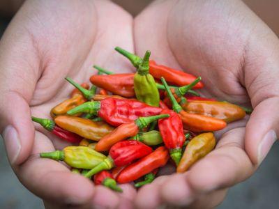 Velšan vypěstoval nejpálivější papričku na světě. Dračí dech je silnější než pepřový sprej