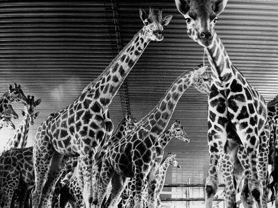 Desítky žiraf ve Dvoře Králové vystříleli za noc. Bylo to unáhlené, vzpomíná po letech veterinář