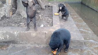 da9e3e739d3 Zubožení medvědi žebrají o jídlo. Aktivisté upozornili na týrání zvířat v  indonéské zoo